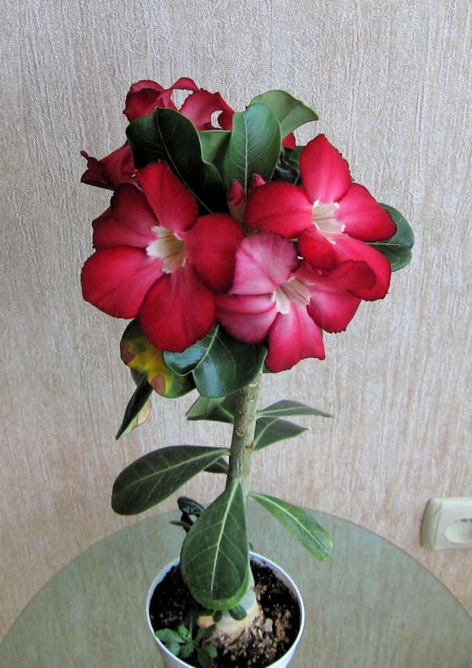Цветок адениум уход в домашних условиях 90