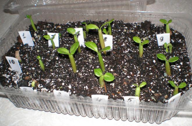 Как сажать гортензию в семенах 723